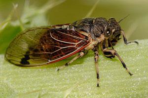 Фэн-шуй символы:Цикада (Cicada) и ее использование в фэн шуй